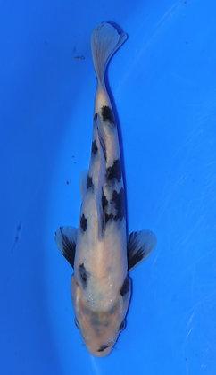 20cm Shiro Utsuri Ref C95