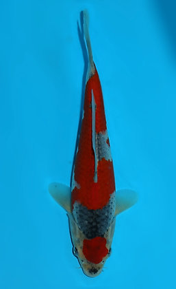 22cm Goshiki Ref F108