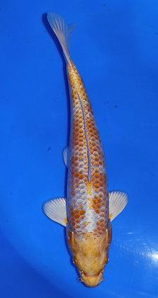 26cm Hariwake Ref A61