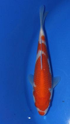 23cm Kohaku Ref C135