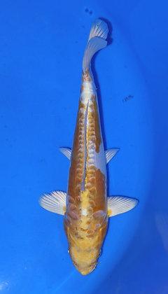 27cm Doitsu Hariwake Ref C67