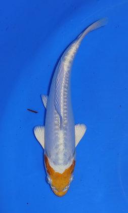 23cm Doitsu Hariwake Ref F27