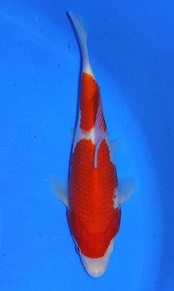 24cm Kohaku Ref B67
