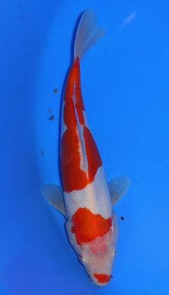 23cm Doitsu Kohaku Ref A47