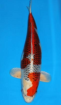 58cm Female Kujaku Ref A232
