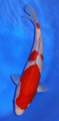 28cm Kohaku Ref 292