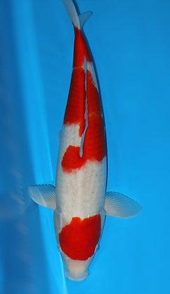 52cm Female Kohaku Ref A229
