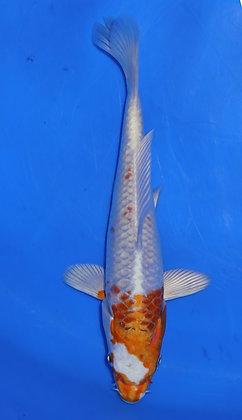20cm Hariwake Ref A175