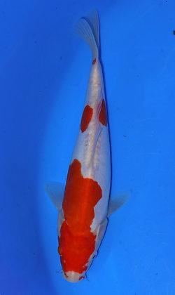 23cm Doitsu Kohaku Ref F09
