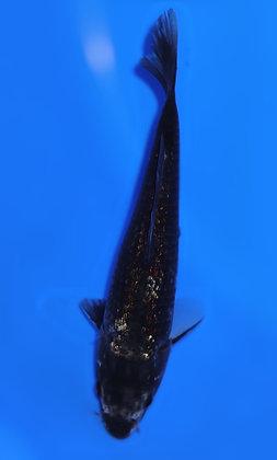 20cm Ginrin Matsukawabake Ref B150