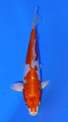 20cm Doitsu Hariwake Ref D42