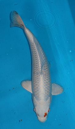 34cm Hariwake Ref B386
