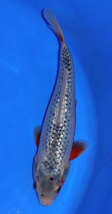 27cm Ginrin Asagi Ref A29