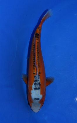 28cm Shusui Ref C118