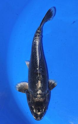 28cm Kikokuryu Ref E06
