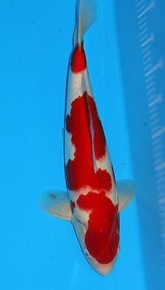 42cm Male Kohaku Ref A220