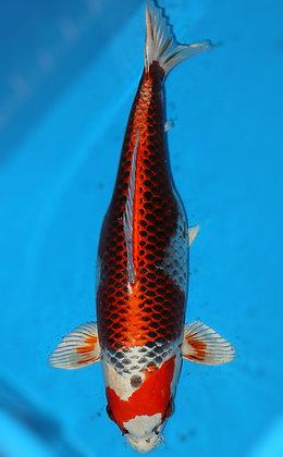57cm Female Kujaku Ref A238