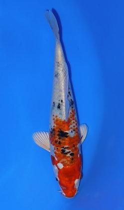 23cm Yamatonishiki Ref D99