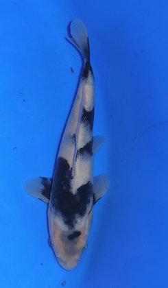 17cm Shiro Utsuri Ref C94