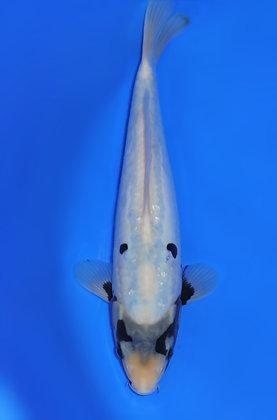 31cm Kumonryu Ref B153