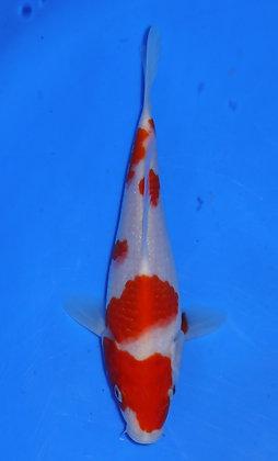 20cm Kohaku Ref B64