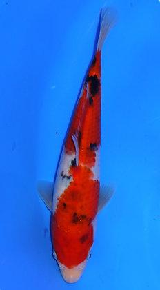 24cm Sanke Ref A16