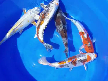 Sorting a bowl of koi for a customer