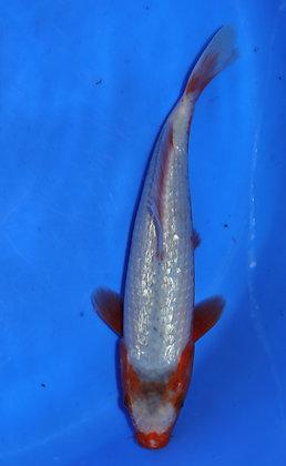 25cm Ginrin Asagi Ref B140