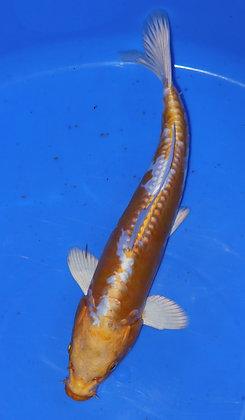 26cm Doitsu Hariwake Ref A66