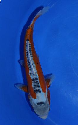 28cm Shusui Ref C119