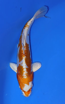 20cm Doitsu Hariwake Ref D92