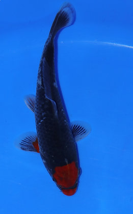 19cm Goshiki Ref F15