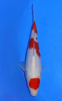 22cm Kohaku Ref B65