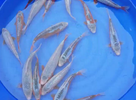 Koi selected to grow on for the summer