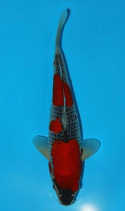 25cm Goshiki Ref F116