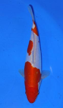 24cm Doitsu Kohaku Ref B73