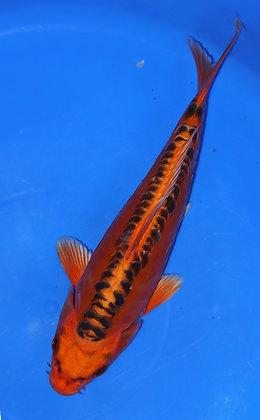 30cm Mizuno Ogon Ref A83