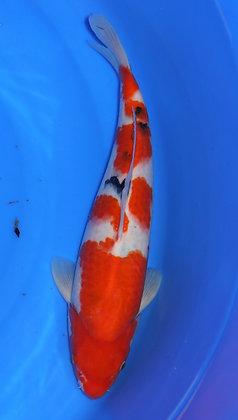 39cm Sanke Ref B60