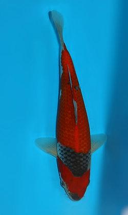 26cm Goshiki Ref F118