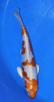 25cm Doitsu Hariwake Ref B1