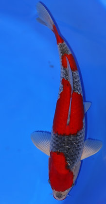 35cm Male Goshiki Ref F102