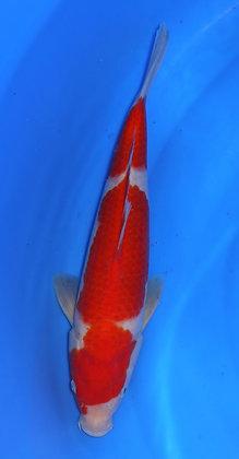 33cm Kohaku Ref B11