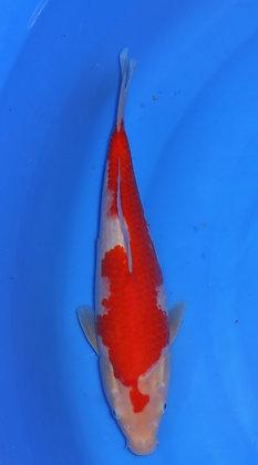 31cm Kohaku Ref B10