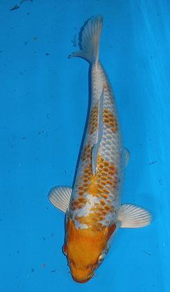32cm Hariwake Ref B370