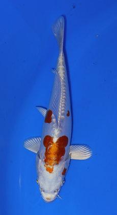 21cm Doitsu Hariwake Ref D43