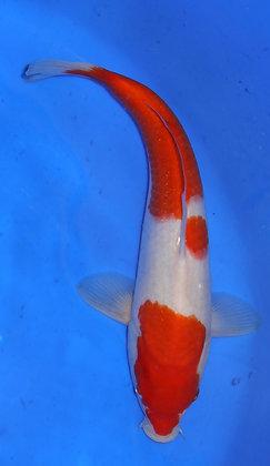 28cm Kohaku Ref 289