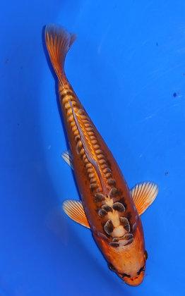 26cm Mizuno Ogon Ref A86