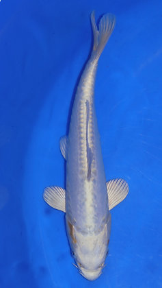 25cm Doitsu Hariwake Ref C168