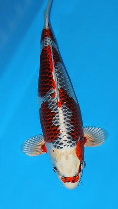 57cm Female Kujaku Ref A231
