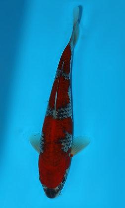 22cm Goshiki Ref F109